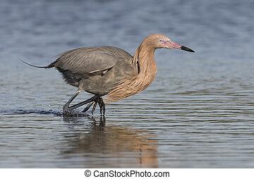 Reddish Egret Stalking a Fish