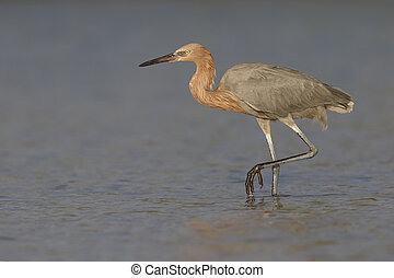 Reddish Egret stalking its prey in a lagoon - Florida