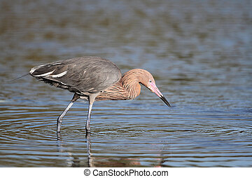 Reddish Egret Stalking its Prey