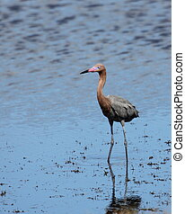 Reddish egret standing in a shallow estuary