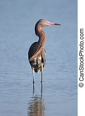 Reddish Egret Wading in a Shallow Pond