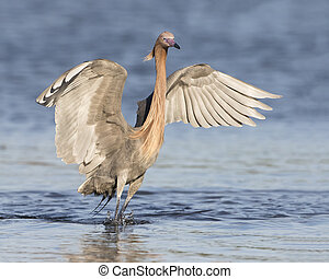 Reddish Egret with its Wings Spread as it Stalks a Fish