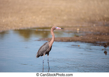 Reddish heron Egretta rufescens with its reflection in the ...