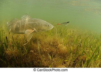 redfish, alatt, óceán, vadászrepülőgép, csábít