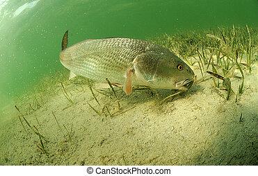 redfish in ocean - redfish fish swimming in ocean off of the...