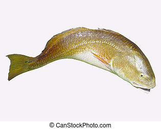 Redfish (red drum) - A popular game fish in the Gulf of...