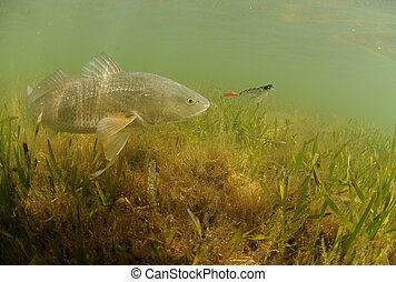 redfish, señuelo, perseguir, océano