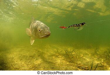 redfish, subacqueo, inseguire, allettare