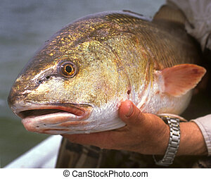 Redfish - Trophy redfish caught by Texas Angler