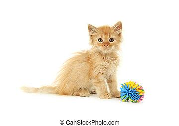 redhead, 白色, 隔离, 小猫