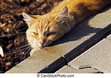 redheaded cat basking in the sun