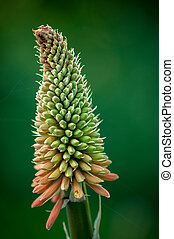 redhot poker flower blossom, cork. vibrant colors and...