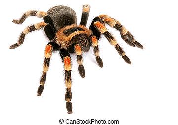 redknee, (brachypelma, tarantula, smithi)., mexicaanse