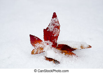 Redleaf in the snow