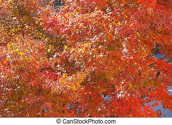 Redmaple tree