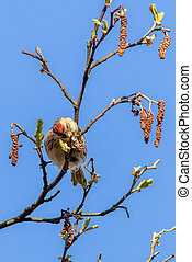 Redpoll (Acanthis flammea) perched in a tree