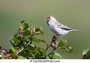 Redpoll male - Common redpoll bird, male, with its bright...
