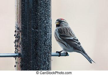 Redpoll - Repoll on a bird feeder