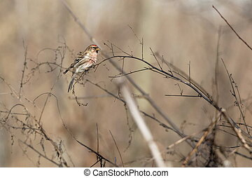 Redpoll Ukraine 2018 - Common Redpoll bird perched on twig...