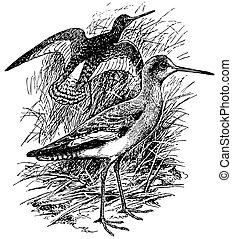 redshank, 鳥, 共通