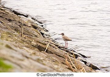 Redshank standing on rock at the shore of a lake