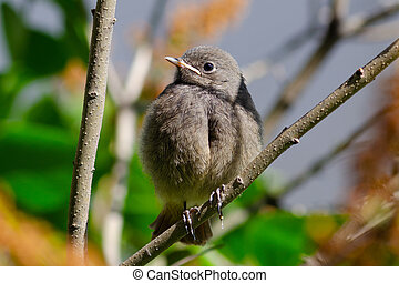 Redstart, chicks sit on a branch, learn to fly