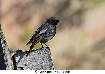 redstart, -, ochruros), (phoenicurus, zwarte man, vogel