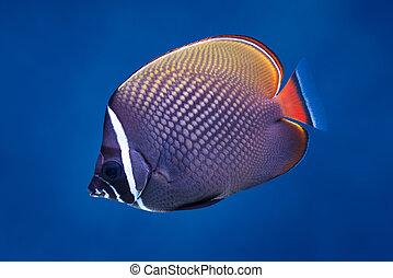 redtail, butterflyfish