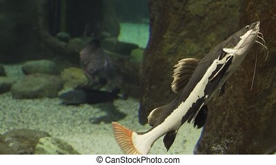 Redtail catfish in freshwater aquarium stock footage video -...