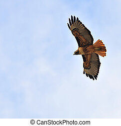 Redtail hawk flying overhead - redtail hawk flying overhead...