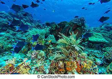 Redtooth Triggerfish in Coral Reef