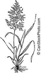 redtop, browntop, fű, vulgaris, capillaris, agnostis, vagy, engraving.