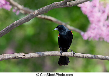 redwing blackbird leans forward from a branch