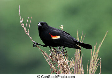 Redwing Blackbird perched on a tree branch