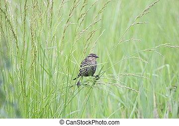 redwing in grass