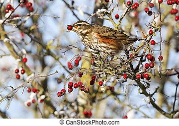 redwing, turdus, iliacus, 単一, 鳥, 供給, 上に, 凍りつくほどである, hawthorn...