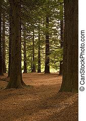 Redwood Forest 01 - Redwoods in Te Mata Peak Park, Hawke's ...