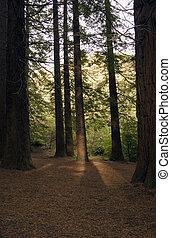 Redwood Forest 02 - Redwoods in Te Mata Peak Park, Hawke's ...