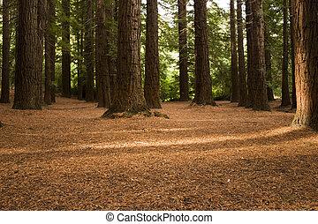 Redwood Forest 03 - Redwoods in Te Mata Peak Park, Hawke's ...