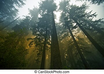 California State Coast Redwood ( Sequoia Sempervirens ) Forest in Fog. Northern California Forestry. Wide Angle Photography. Nature Photography Collection.