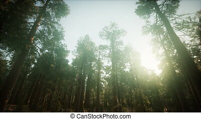 Redwood Forest Foggy Sunset Scenery