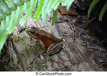 Redwood forest frog at the sequoia trunk