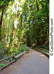 redwood forest - Giant redwoods