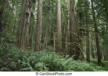 Redwood Forest Landscape