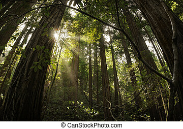 Magical landscape photo of the redwood forest with rays of light coming through the trees