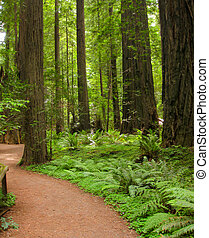 The large redwood trees in Redwood National Park.