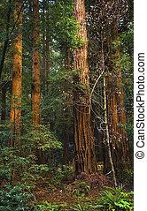 redwood gigante, árvores, torre, sobre, hikers, madeiras...