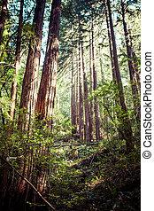 redwood national park in california, usa - Redwood national...