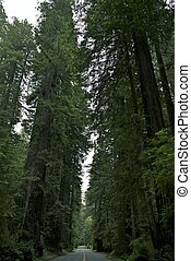 Redwood National Park Road. Giant Coastal Redwood Trees....
