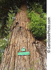 Redwood sequoia with sign